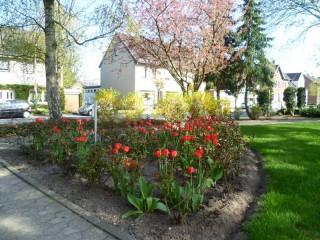 Wunderschöne rote Tulpen